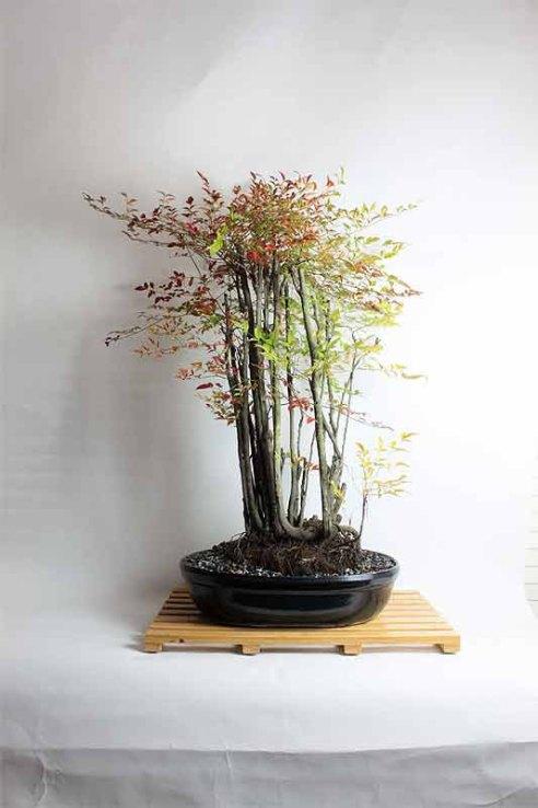 bonsaiforest