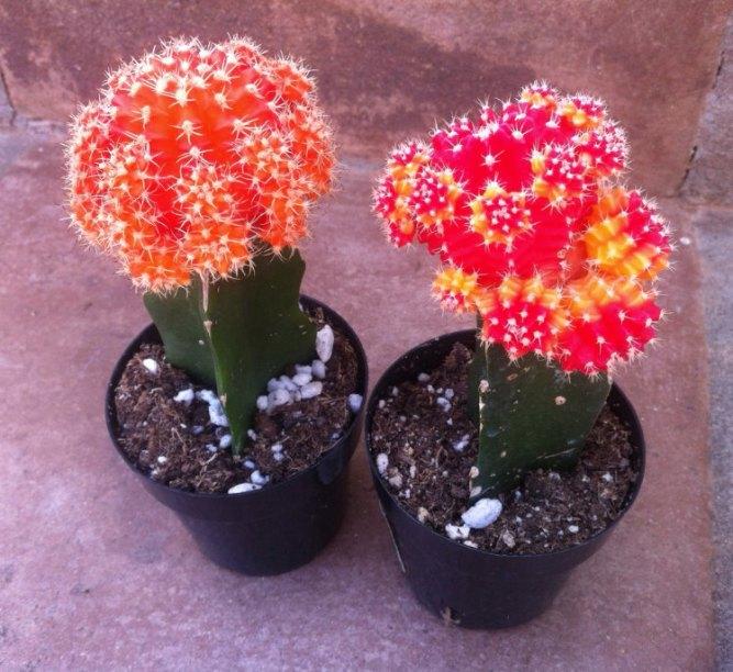 cactusflower